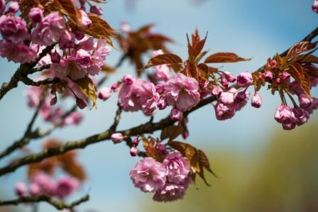 Teltow: 16. Japanisches Kirschblütenfest