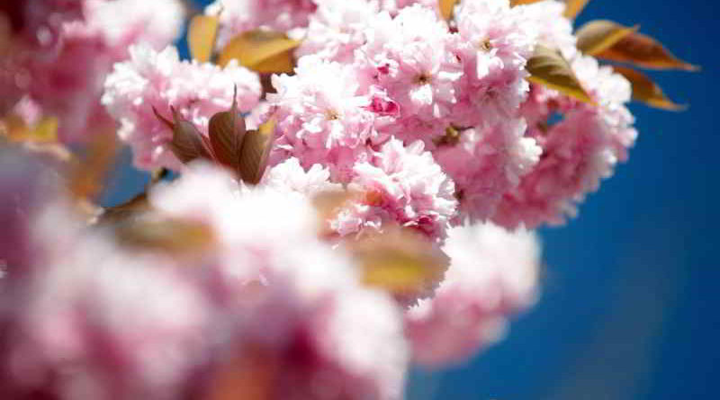 Video: Impressionen vom Hanami 2017 in Teltow