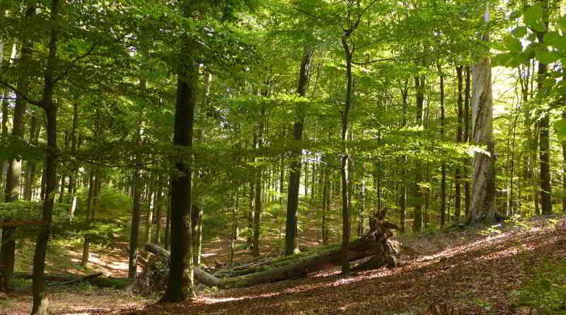 UNESCO-Weltnaturerbe durch Buchenurwälder in Europa erweitert