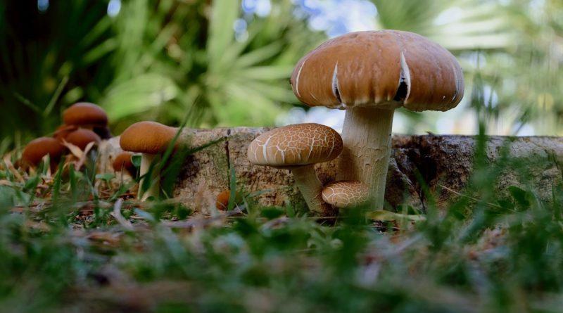 Mushrooms (Image by Couleur [CC0 Public Domain], via Pixabay)