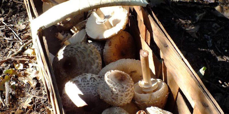 Mushrooms in a basket (Image by jhellermann [CC0 Public Domain], via Pixabay)