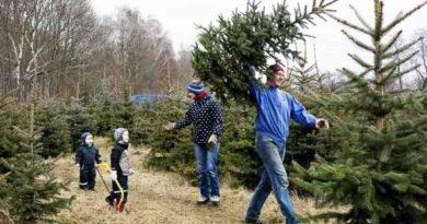 Wer seinen Weihnachtsbaum selber schlagen will, hat in Brandenburg bei Förstereien und auf Privatplantagen eine große Auswahl.