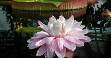 Nach 12 Jahren bekommt Berlin die Riesenseerose Victoria zurück. Die ersten Keimlinge mit ihren derzeit fingernagelgroßen Blättern wurden Anfang März im sanierten Victoriahaus im Botanischen Garten gesetzt. Ab Juni ist das Victoriahaus wieder für die Öffentlichkeit zugänglich.