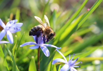Bei Pflanzenschutzmaßnahmen auf Schutz von Honigbiene & Co. achten