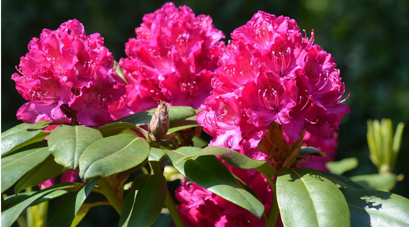 Rhododendron (c) pixabay