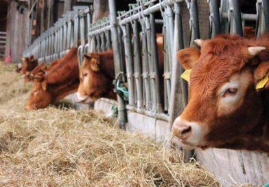 Dürre geschädigte Rinder-, Schweinehalter und Schafhalter in Brandenburg können ab sofort einen Antrag für eine Beihilfe zur Unterstützung von Futterzukäufen beantragen.