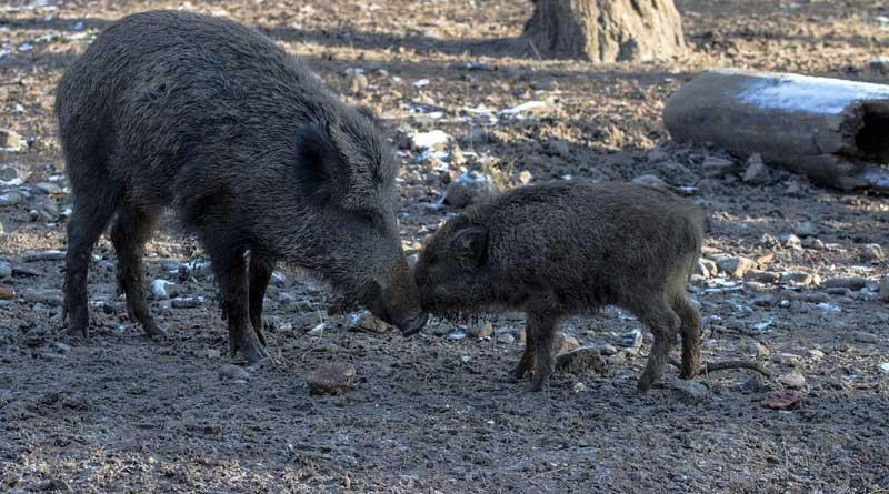Die Jagd auf Wildschweine geht weiter