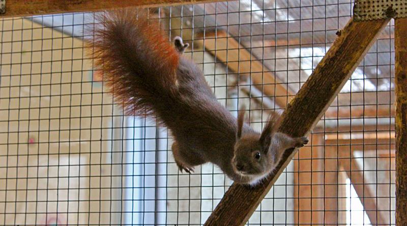 Die Eichhörnchenhilfe Berlin-Brandenburg in Teltow hilft ausgehungerten, verletzten oder kranken Tieren. Die Tiere finden keine Nahrung, weil die Gärten zu perfekt sind.