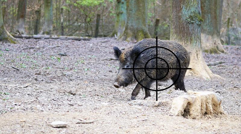 Das Umweltministerium des Landes Brandenburg hat ein Gutachten zur Wildschweinbejagung mit Ultraschallmunition in Auftrag gegeben, mit der auch innerorts geschossen werden kann. Heute Vormittag wurde das Ergebnis bekannt gegeben.